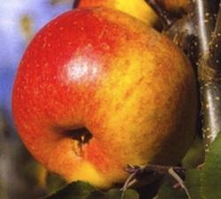 Besondere Taufgeschenke: Apfelbaum